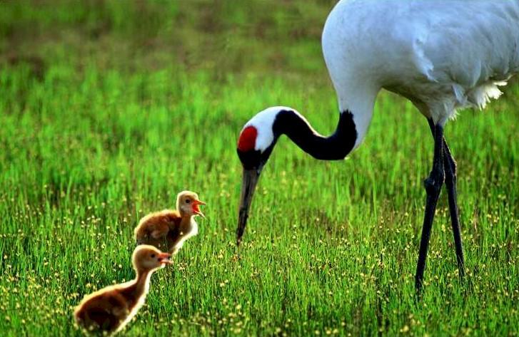 Red Crowed Crane Found...